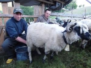 Het melken van de schapen in Tranisu
