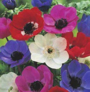 anemone-de-caen-mix
