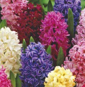 hyacinthus-mixed
